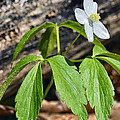 Wood Anemone by Thomas R Fletcher
