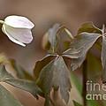 Wood Anemone Wildflower - Anemone Quinquefolia L.  by Mother Nature