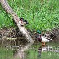 Wood Duck And Mallard by M Dale