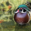 Wood Duck Be Still by Phil Huettner