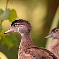 Wood Duck Close Up 1 by Sheri McLeroy