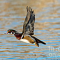 Wood Duck Drake by Anthony Mercieca