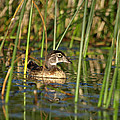 Wood Duck Drake by James Peterson