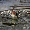 Wood Duck Drake Wing Flap by Ronald Lutz