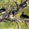 Wood Duck Drakes In Tree by John Dart