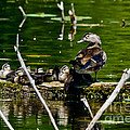Wood Duck Family by Cheryl Baxter