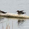 Wood Duck Females On A Log  by Lori Tordsen