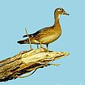 Wood Duck Hen In Tree by Robert Frederick