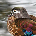 Wood Duck Hen by Steve McKinzie