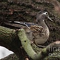 Wood Duck by Lori Tordsen