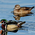 Wood Duck Pair Swimming by Anthony Mercieca