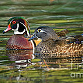 Wood Duck Pair by Timothy Flanigan