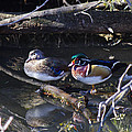 Wood Duck Reflections by Mike and Sharon Mathews