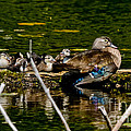Wood Duck Rest Time by Cheryl Baxter