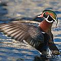 Wood Duck by Ronald Lutz
