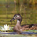 Wood Duck by Stephanie McDowell