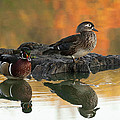 Wood Ducks by Dale Kincaid