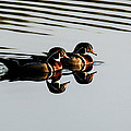 Wood Ducks Reflection by Frank Selvage