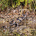Wood Ducks by Vishwanath Bhat