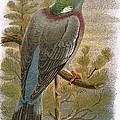 Wood Pigeon by English School