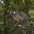 Wood Pigeon by Richard Thomas