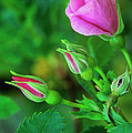 Wood Rose Buds Rosa Woodsii Wild by Dave Welling