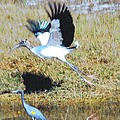 Wood Stork And Blue Heron by Robert Floyd