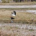 Wood Stork And Herons by Robert Floyd