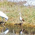 Wood Stork And Ibis And Heron by Robert Floyd