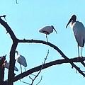 Wood Stork And Ibis by Robert Floyd