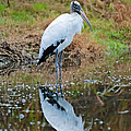 Wood Stork  by Carol Groenen