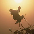 Wood Stork Collecting Nesting Material by Tim Fitzharris