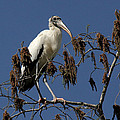 Wood Stork by Doris Potter