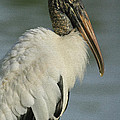 Wood Stork In Oil by Deborah Benoit