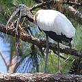 Wood Stork by Ken Keener