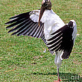 Wood Stork by Millard H. Sharp