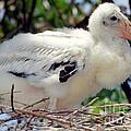 Wood Stork Nestling by Millard H. Sharp