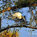 Wood Stork Perch by Al Powell Photography USA