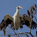 Wood Stork Preparing To Fly by Doris Potter