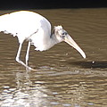 Wood Stork by Robert Floyd