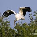 Wood Storks by Anthony Mercieca