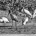 Wood Storks In Black And White by Christina Manassa