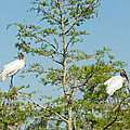 Wood Storks In The Everglades by Natural Focal Point Photography