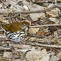 Wood Thrush by Jack R Perry
