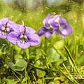 Wood Violet by Liz Leyden