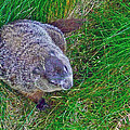 Woodchuck In Salmonier Nature Park-nl by Ruth Hager