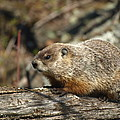 Woodchuck by James Peterson