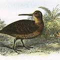 Woodcock by English School