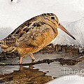 Woodcock In Winter by Timothy Flanigan