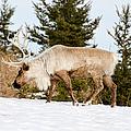 Woodland Caribou by Les Palenik